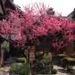 正面の梅。春のお彼岸のころ華やかに咲きます。